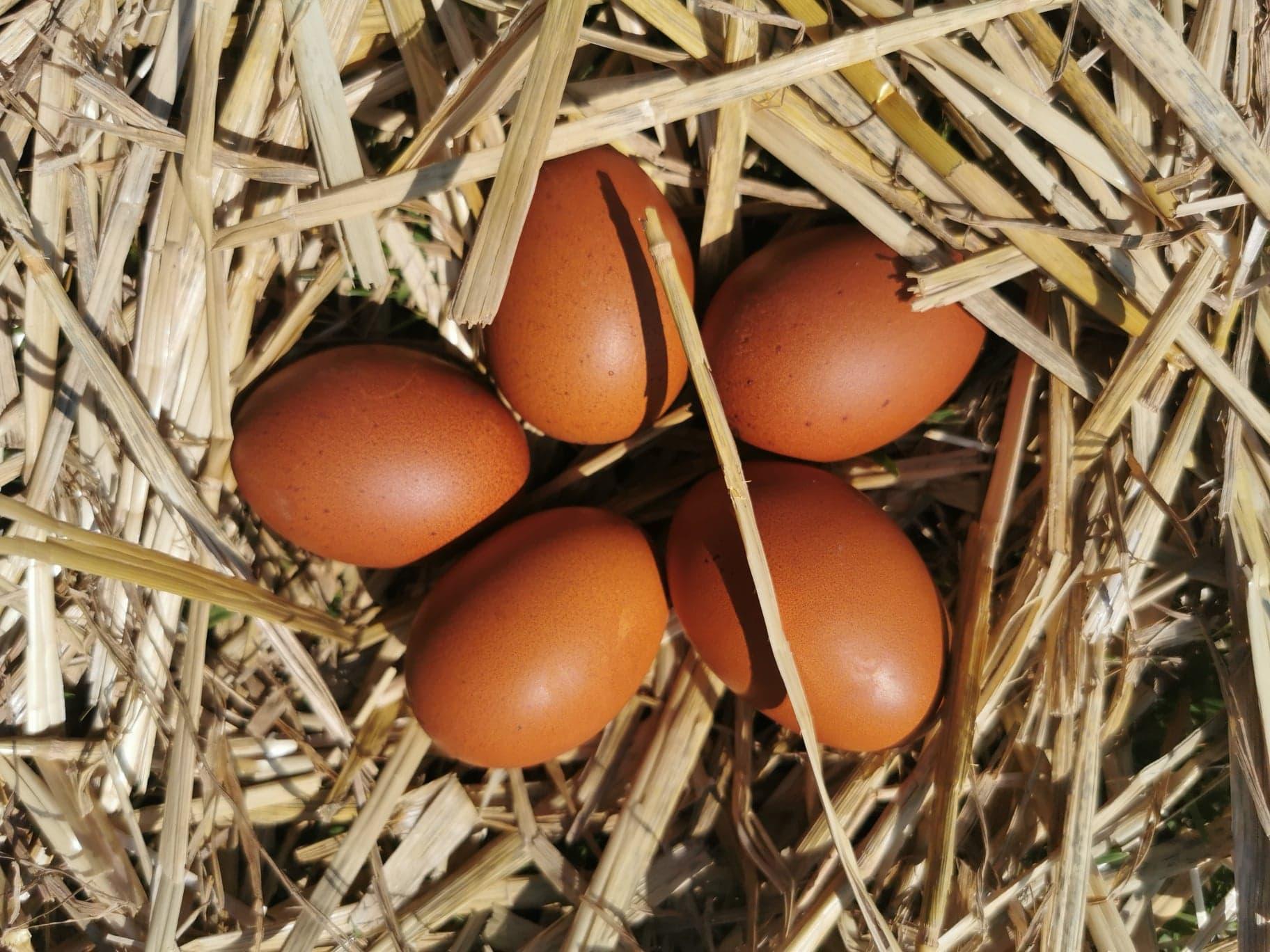 œufs de Marans